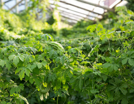 Greenhouse with rows of bitter cucumber