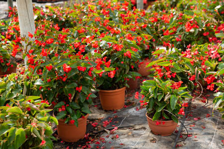 Blooming potted begonias