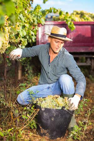 Vineyard owner gathering harvest of ripe white grapes
