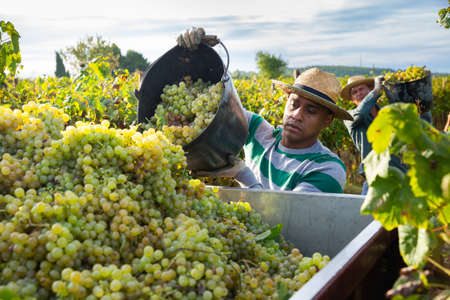 Hispanic farm worker loading freshly picked grapes in truck