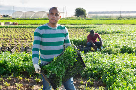 Hispanic farm worker showing box of picked parsley