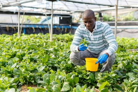 Farmer cultivating Malabar spinach