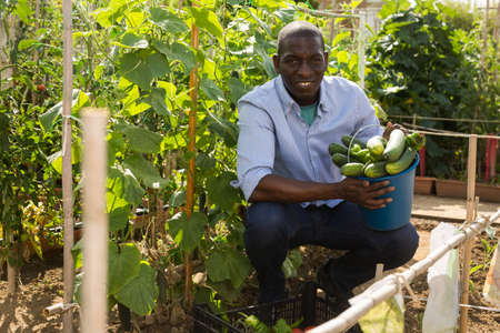 Young man gardener during harvesting of fresh cucumbers