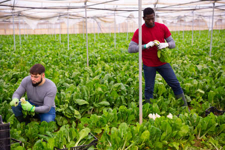 Workers clean ripe chard and put in boxes
