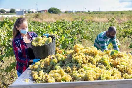 Female worker in mask harvesting ripe grapes