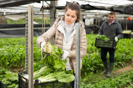 Young woman gardener during harvesting of green salad