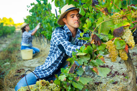 Owner of vineyard gathering harvest of white grapes