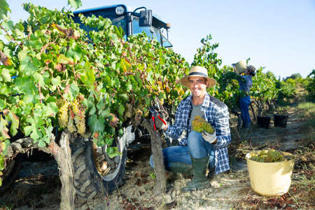 Young man winemaker picking harvest of grapes in vineyard at fields Standard-Bild