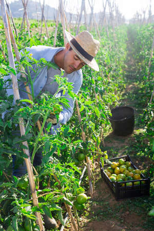 Young man picking underripe tomatoes in small farm garden