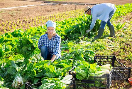 Woman arranging bundles of harvested green chard at garden 免版税图像