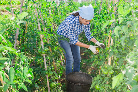 Female farmer harvesting underripe tomatoes in garden