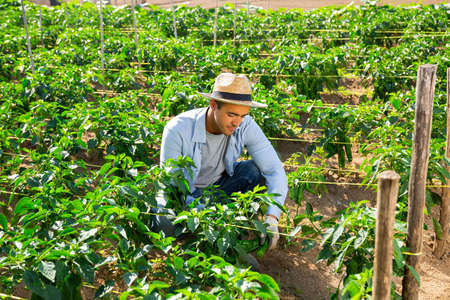 Hired worker with a secateurs collects crop of bell peppers on the beds of plantation