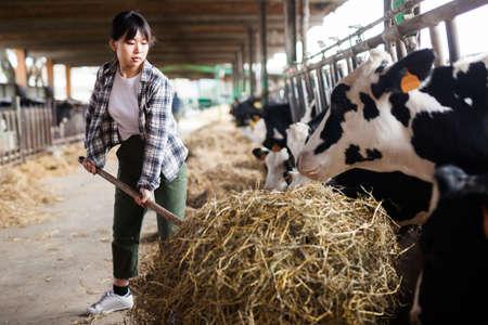 Female farmer who is feeding beasts at the cow farm