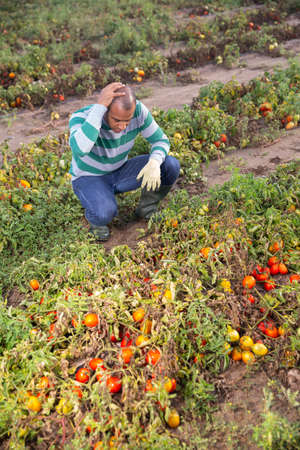 Hispanic grower inspecting diseased tomatoes on farm field 版權商用圖片