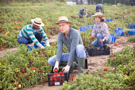 Farm workers picking damaged tomatoes after storm