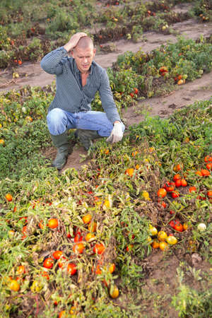 Man farmer checking tomatoes damaged after storm
