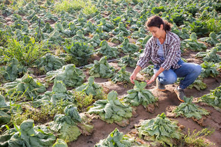 Woman farmer checking cabbage damaged after storm