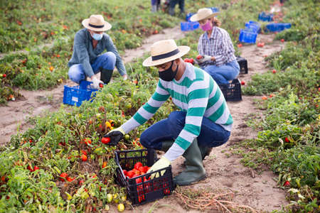 Farmers in masks picking tomatoes after storm