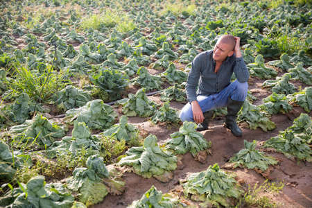 Farmer frustrated by loss of cabbage harvest after drought 写真素材