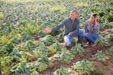 Two farmers checking cabbage damaged after rain