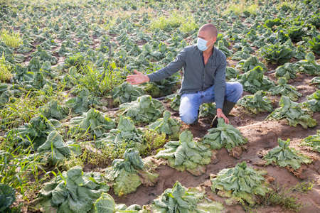 Man farmer in mask checking damaged cabbage 写真素材