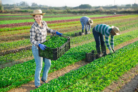 Successful female horticulturist with harvested corn salad on plantation