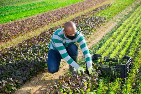 Farmer wearing mask picking red leaf mustard Banque d'images