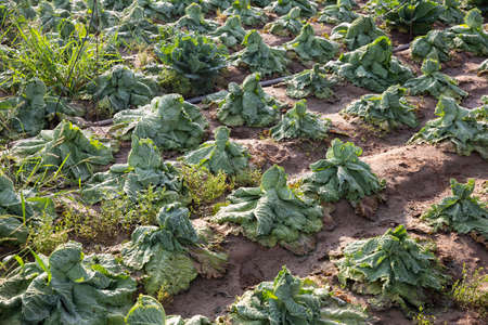 Farm field with damaged savoy cabbage plants after drought 版權商用圖片