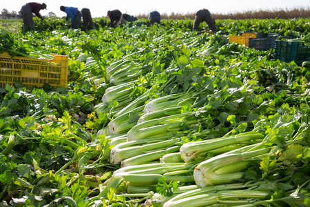 Harvested celery on background with working people