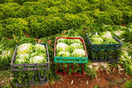 Harvest of green lettuce in crates during harvesting in garden