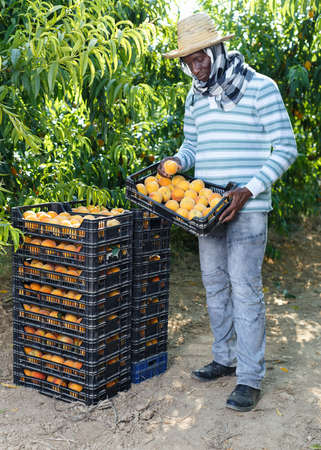 Successful male owner of orchard gathering harvest of ripe peaches on sunny day