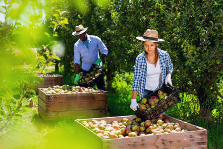 Successful female farmer engaged in picking of pears in orchard, laying harvested fruits in wooden boxes