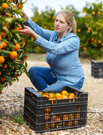 Woman picking tangerines
