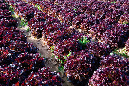 Rows Of red lettuce on a field