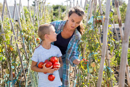 Little son helps mom to harvest tomatoes on plantation Banco de Imagens