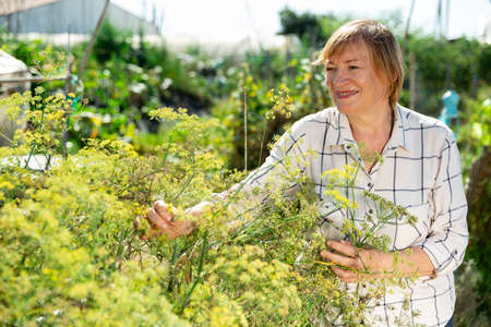 Senior woman is picking dill in the garden