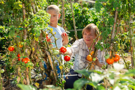Woman with grandson harvesting tomatoes Banco de Imagens