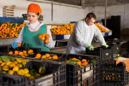 Warehouse workers sorting ripe mandarins 写真素材
