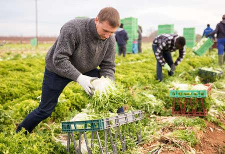 Men professional gardeners during harvesting of lettuce Banque d'images