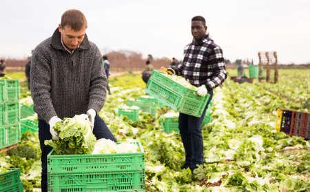 Men gardeners picking harvest of lettuce to crates in garden