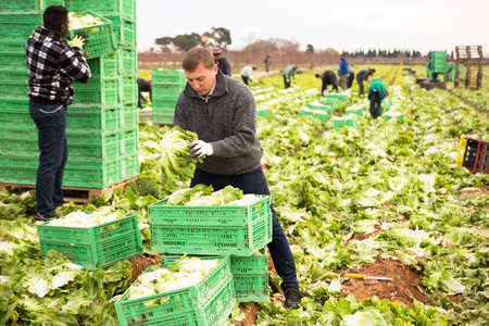 Man gardener working with crates with harvest lettuce
