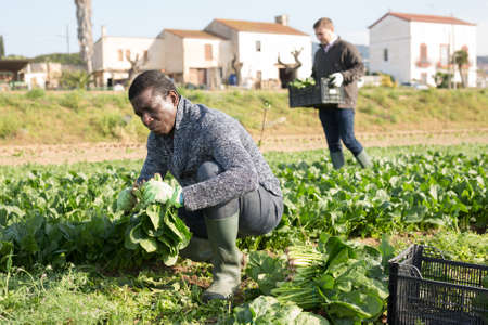 Men horticulturists picking harvest of green spinach