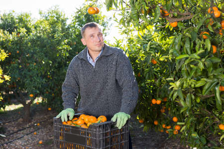 Successful male owner of citrus farm gathering harvest of ripe mandarins Archivio Fotografico