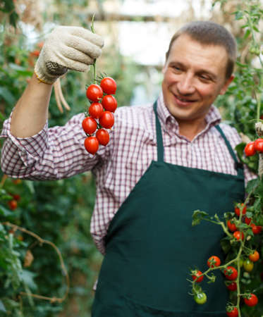 Man professional gardener picking tomatoes in sunny greenhouse