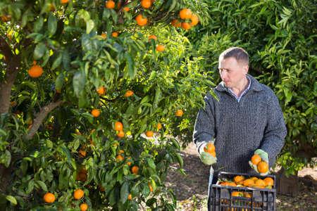 Farmer picking ripe mandarins