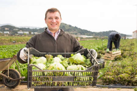 Mature man holding crate with harvest of fresh green lettuce Banque d'images