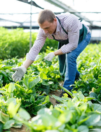 Man gardener picking Malabar spinach in hothouse at sunny day Archivio Fotografico