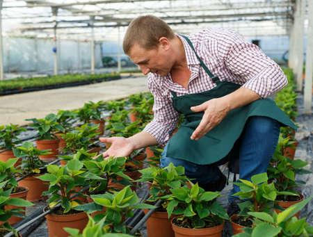 Male worker arranging poinsettia pulcherrima herbs while gardening in greenhouse Archivio Fotografico