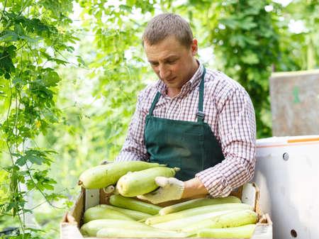 Worker harvesting fresh squash
