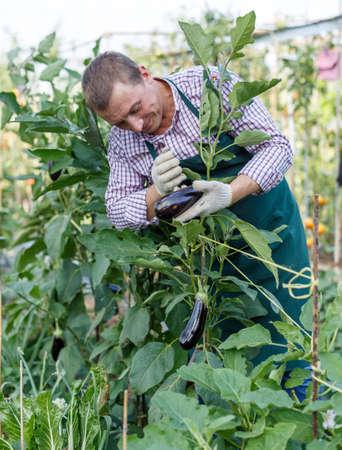 Male gardener arranging eggplants while gardening in outdoor garden